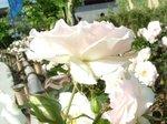白んだバラ1