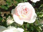 白んだバラ2