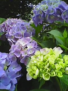 11_100612_1405~02紫陽花.JPG