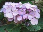 ラスト紫陽花