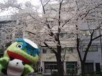 柳北小学校&八重洲さくら通りの桜♪1