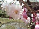 桜はこれから